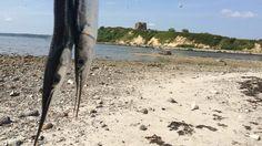 Castle and needlefish. Kalø slotsruin og hornfisk på fluen