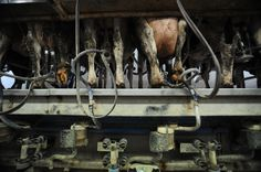 go #vegan cows spend most of their lives as milk machines, forced to produce 4.5 times what they normally would for their calf.  Read more: http://www.peta.org/features/dairy-industry-cruelty/#ixzz3KyHZO4rI