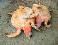 Harvesting endangered sea turtles is LEGAL in Grenada :-( Help us stop this!