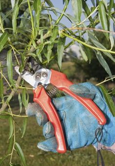 Best Time To Prune Willows: How To Prune A Willow Tree... pruning willow Prune Fruit, Pruning Fruit Trees, Tree Pruning, Trees To Plant, Dappled Willow Tree, Weeping Willow, Willow Bush, Honeysuckle Plant, Willow Garden