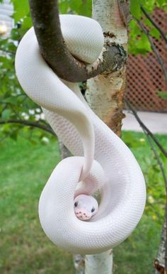 Python is listed (or ranked) 10 on the list 38 Incredible Albino (and Leucistic). - Python is listed (or ranked) 10 on the list 38 Incredible Albino (and Leucistic) Animals - Les Reptiles, Cute Reptiles, Reptiles And Amphibians, The Animals, Wild Animals, Yellow Animals, Pretty Snakes, Beautiful Snakes, Amazing Animals