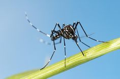 MISSION VIEJO – A second type of mosquito that carries the Zika virus has been discovered in Mission Viejo, according to a Orange County Mosquito and Vector Control District official. Asian T… University Of California Riverside, Asian Tigers, Strange Things Are Happening, Dengue Fever, Mosquito Control, Zika Virus, Natural News, Mosquitos, Northern Italy