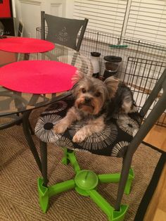Who says KABOOST is only for toddlers? Small dogs want to enjoy the party too!! #Yorkie #SmallDogs
