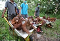 Barrow Loads Of Mischief! Orphan Baby Orangutans Saved By Your Generosity…