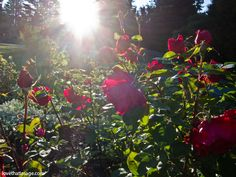 Tips for growing the best roses
