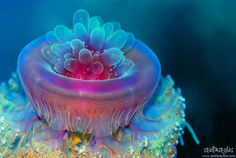 Jellyfish / Berenice, Red Sea, Egypt A most outstanding location to dive! Walls of corals and clear waters! Underwater Creatures, Underwater Life, Ocean Creatures, Under The Water, Life Under The Sea, Beautiful Sea Creatures, Sea Slug, Sea And Ocean, Fish Ocean