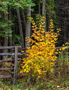 Young Maple.  A flamboyant young maple tree shows off its autumn colors beside a split rail fence in southern Ontario.