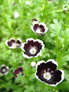 Nemophilia is a black and white U.S.-native wildflower.
