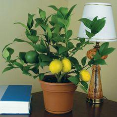 Indoor Lemon 'Meyer' (Citrus limon) plant