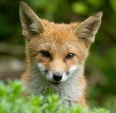 Red Fox   Everything is Permuted - Paul Cecil