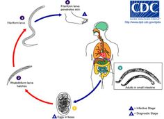 Life cycle of Hookworm Dude, you can get these from walking barefoot in the dirt. Les Parasites, Intestinal Parasites, Parasite Cleanse, Vet Assistant, Medical Laboratory Science, News Highlights, Life Cycles, Worms, Fungi