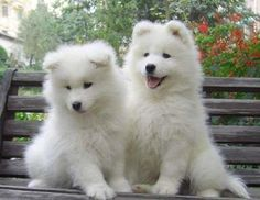 Aww, if we could have a dog... Samoyeds are the cutest dogs ever!
