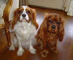 My Cavaliers!!  Sooo cute.  They're both Angels in Heaven now!