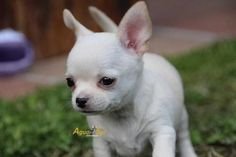 Effective Potty Training Chihuahua Consistency Is Key Ideas. Brilliant Potty Training Chihuahua Consistency Is Key Ideas. Best Dog Photos, Cute Dog Photos, Funny Dog Pictures, Love My Dog, Best Dog Training, Chihuahua Puppies, Image Hd, Animals And Pets, Baby Animals