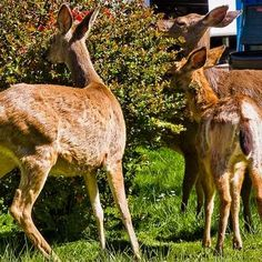 List of deer resistant trees, shrubs, perennials and annuals