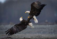 Mating eagles.