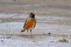 Brown-headed thrush by Mubi.A