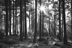 Sunbeam through Trees - b/w
