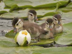 Ducks by Duke - Four baby wood ducks on lily pads waiting for mom to finish grazing