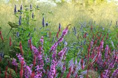 I drew up designs for this garden which sought to unite a number of distinct areas with bold sweeps of texture, form and colour. Ornamental grasses provided a textural foil to the brighter details of long-flowering perennials such as Persicaria amplexicaulis, Stachys officinalis, Veronicastrum and pink Lythrum virgatum.