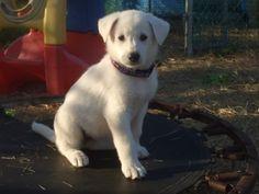 Beautiful white German Shepherd puppy