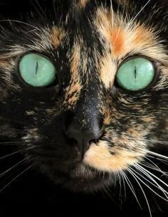 Such beautiful eyes on a little Tortoise shell cat.