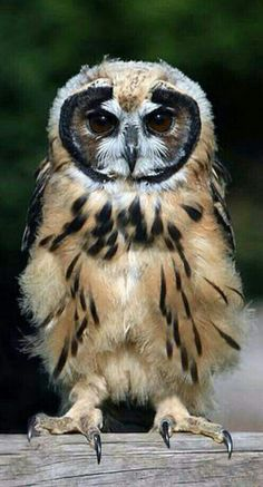 Birds and baking animals beautiful, beautiful owl, cute animals, wild animals, baby Beautiful Owl, Animals Beautiful, Cute Animals, Wild Animals, Baby Animals, Owl Photos, Owl Pictures, Photo Animaliere, Owl Bird