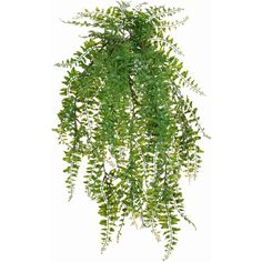 24 BUCKLER FERN HANG BUSH X11 ❤ liked on Polyvore featuring home, home decor and plants