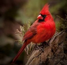 Red cardinals n.c. saying red cardinals a sign from heaven
