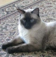 Tonkinese Cats | Tonkinese Cat Breed Info & Pictures | petMD