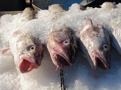Warming Waters Contributed to New England Cod Decline - The Fish Site