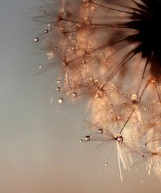 dandelion copper II Throw Pillow by Ingrid Beddoes photography - Cover x with pillow insert - Indoor Pillow Image Deco, Dandelion Wish, Dandelion Seeds, Dandelion Flower, Fotografia Macro, In Natura, Dew Drops, Water Droplets, Foto Art