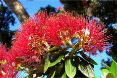 Pohutukawa Fragrance Soy Candle Fresh and delicate floral notes combine with light woody tones to deliver a lovely light Phohutukawa like fragrance. The Kiwi summer Christmas tree. Summer Christmas, Christmas Tree, Native Plants, Soy Candles, Woody, Kiwi, Scenery, Fragrance, Delicate