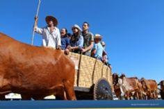 Festas de Carros de Boi: Os carros de boi cantaram no 4º Encontro de Carros...