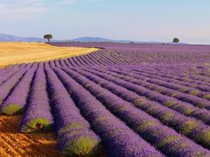 Fields of Lavender  Photograph by Shaun Egan/Getty Images  Fragrant fields of lavender are common in French provinces such as Provence, where lavender festivals help stimulate tourism. Lavender has long been important to the southeast region's economy and identity.