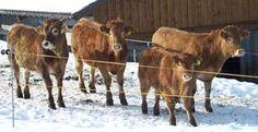 Vacas menos poluentes -  vacas alimentadas exclusivamente com ração produzem um terço do metano do que as que comem em pastos, segundo estudo.