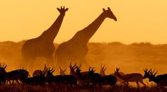 Pictures Of Giraffes Looking F@!#ing Majestic