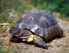 Marginated tortoise (Testudo marginata)