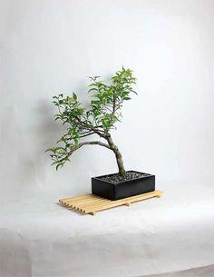 Pixie Bougainvillia Bonsai Tree by by LiveBonsaiTree on Etsy