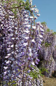 Japanese wisteria 'Russelliana'