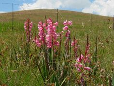 Watsonia confusa Wild Flowers, Plants, Garden, Tree, African Plants, Botanist, Trees To Plant, Flowers, Lily