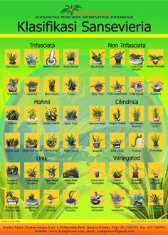 DEPOK SANSEVIERIA COMMUNITY: Klasifikasi Sansevieria