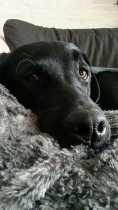 Mind Blowing Facts About Labrador Retrievers And Ideas. Amazing Facts About Labrador Retrievers And Ideas. Silver Labrador, Black Labrador Retriever, Labrador Puppies, Retriever Puppies, Corgi Puppies, Black Lab Puppies, Cute Puppies, Pet Dogs, Dog Cat