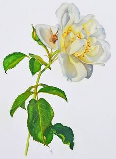 """""""A White Rose In Summer"""" Matted Fine Art Print"""