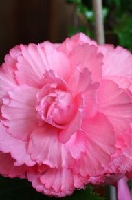 Begonia have these in orange and white.