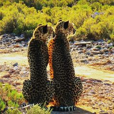 In Sanbona Private Game Reserve, these two cheetah brothers watch for prey at dawn. _______________________ Photo: Caroline Borg  #CapeTown #Wildlife #Beauty #nature