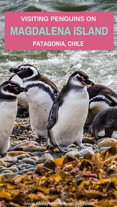 Magdalena Island is the best place to visit in Patagonia for Penguins, and the price is cheaper than its Argentina counterparts.