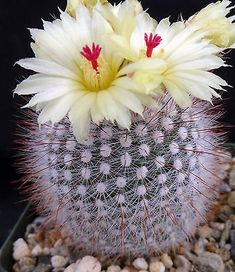 cactus with flowers Parodia scopa Round white spiny cactus Succulent Gardening, Cacti And Succulents, Planting Succulents, Planting Flowers, Colorful Plants, Unique Plants, Cactus House Plants, Cactus Cactus, Indoor Cactus
