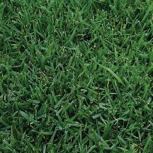 Midiron is a type of Bermuda grass commonly used for parks, schools and other high-traffic areas. This grass is the most widely used sod in Arizona because it is the best overall adapted grass for lawns in the desert valleys.