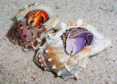 Strawberry v.s Blue Berry hermit crabs